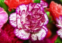 Interesting Facts about Carnations
