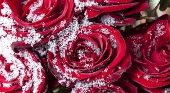 21-rose