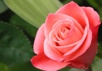 Interesting facts about rose you might not know