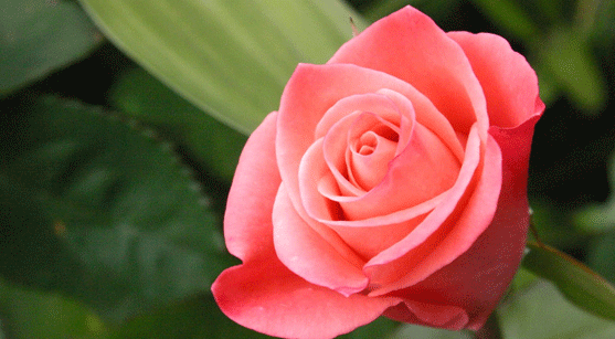 Interesting Facts About Rose You Might Not Know Flower
