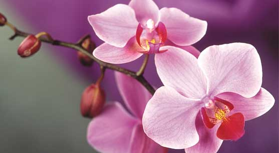 27_orchid