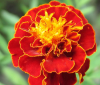 4_marigold